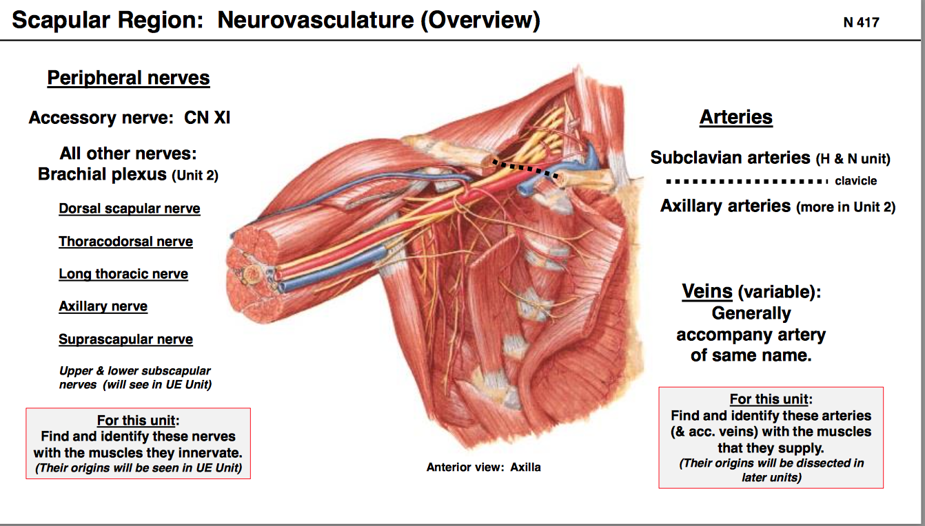 Anatomy GS5 Upper Back (Terms from anatomy unit 5) Flashcards | Memorang