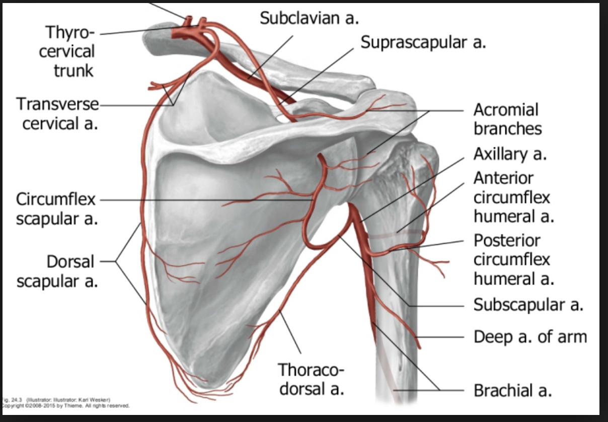Gross Anatomy (Musculoskeletal) Flashcards | Memorang