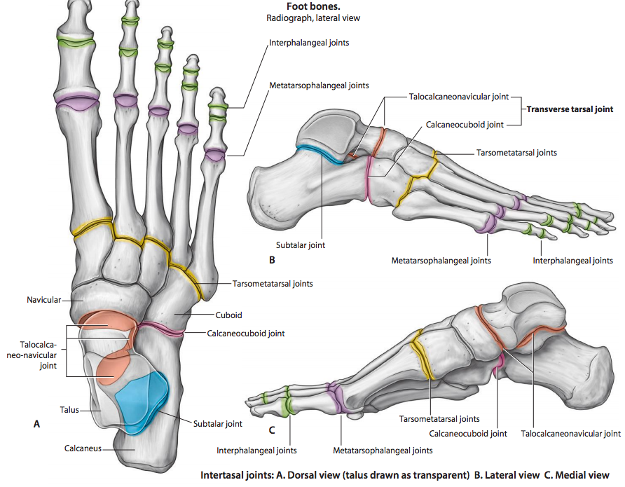 Joints Of The Lower Limb Anatomy Flashcards Memorang