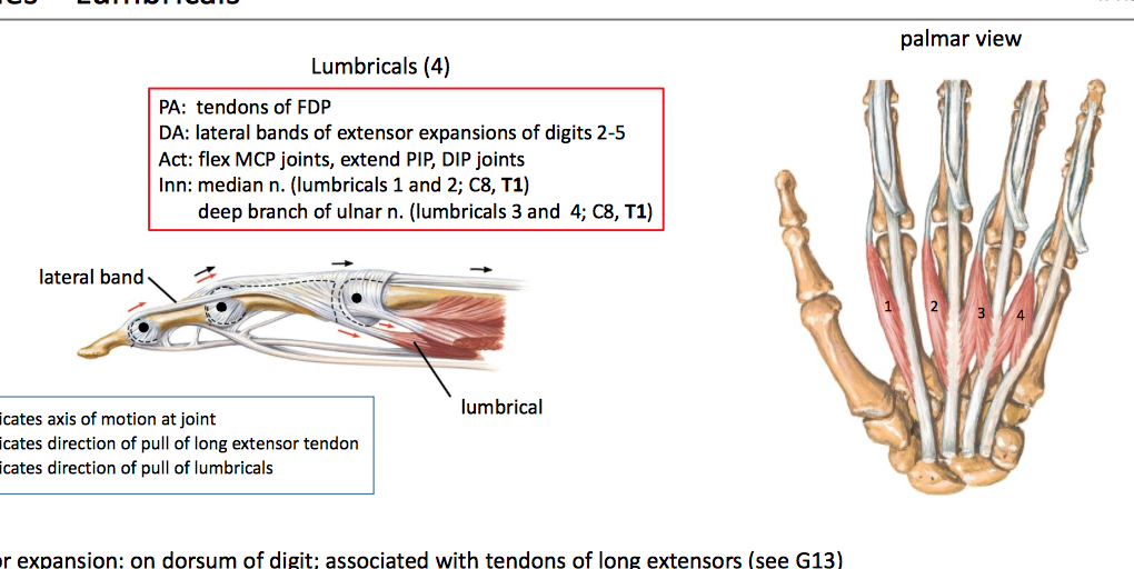 Anatomy GS12 Hand Unit12 (Terms from anatomy unit 12) Flashcards ...