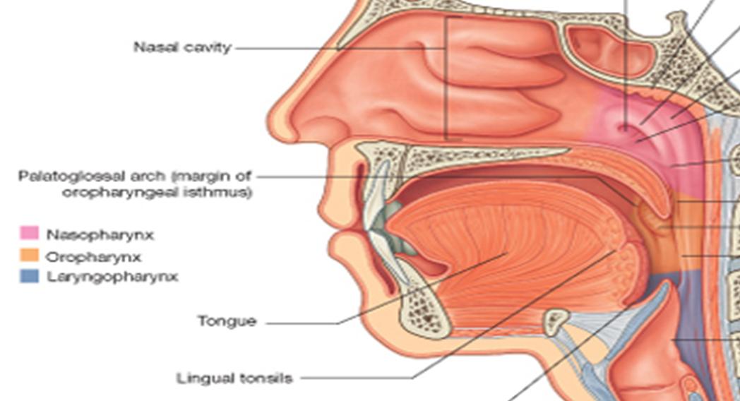 Nasopharynx oropharynx laryngopharynx boundaries in dating