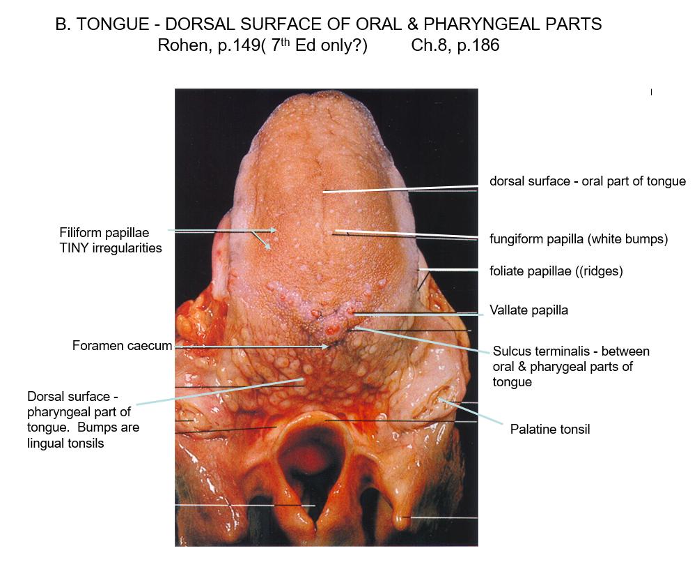 Head And Anatomy Tongue Added Pics Flashcards Memorang