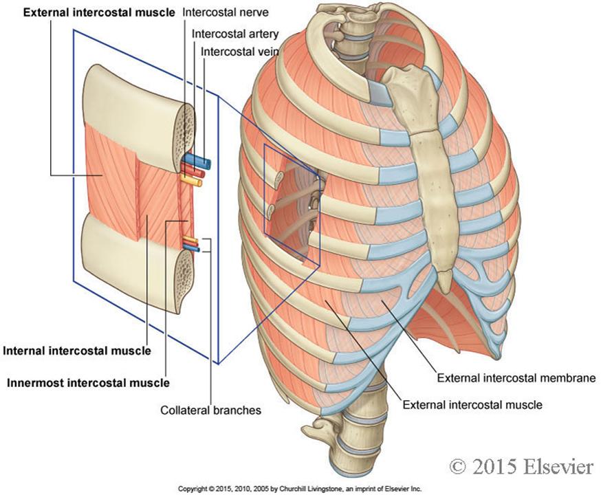 101 Thoracic Cage Diaphragm Pleura Lungs Anatomy Robert