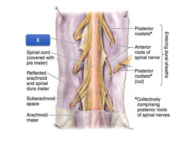 Anatomy 1 Week 3 Quiz 3 Set W (Muscle/veins Of Back