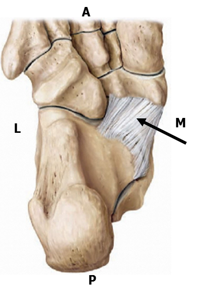 Joints of the Foot (Overview of the Joints of the Foot) Flashcards ...