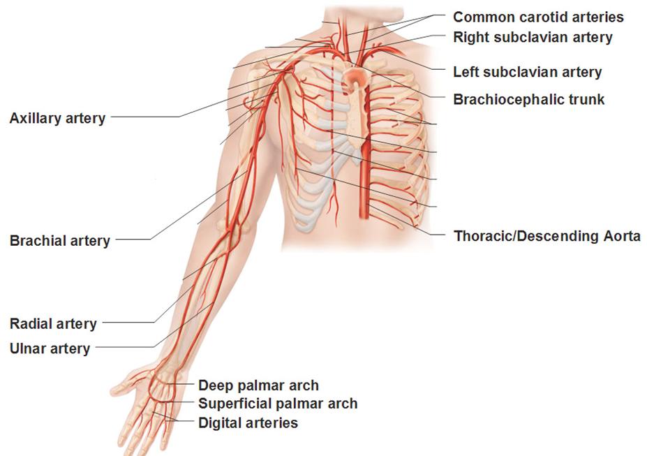 Upper Limb Doral Scapula Posterior Arm L2 Gross Anatomy