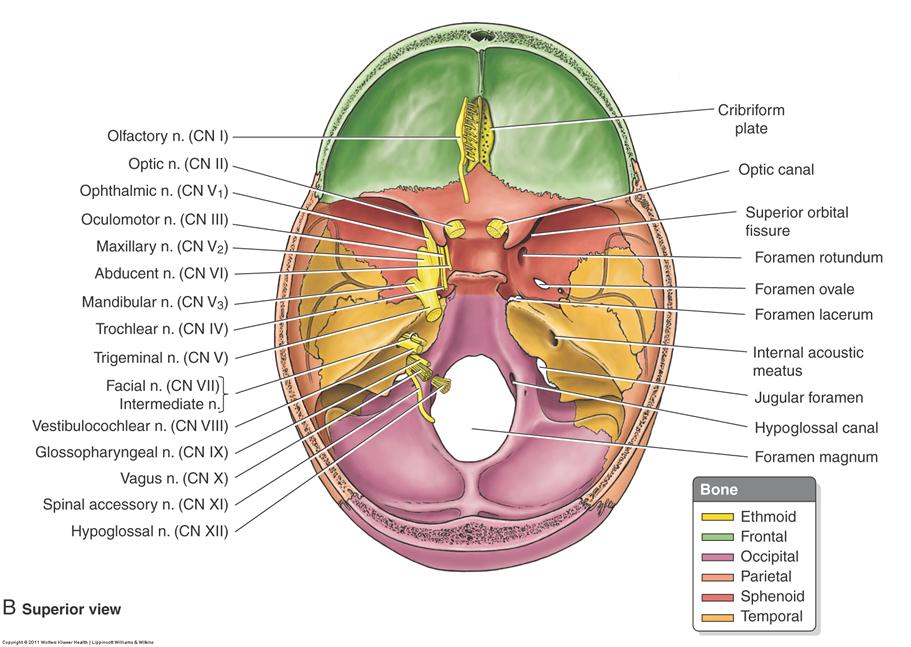 2.07 - Cranial Nerves V2, V3, 7-12 (Neuro | Anatomy | Eileen Kalmar ...