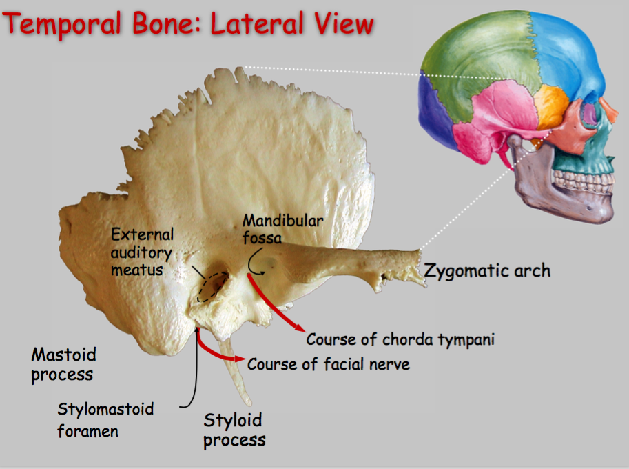 N89: Ear, Temporal Bone, and Facial Nerve (Neurosciences | Gross ...