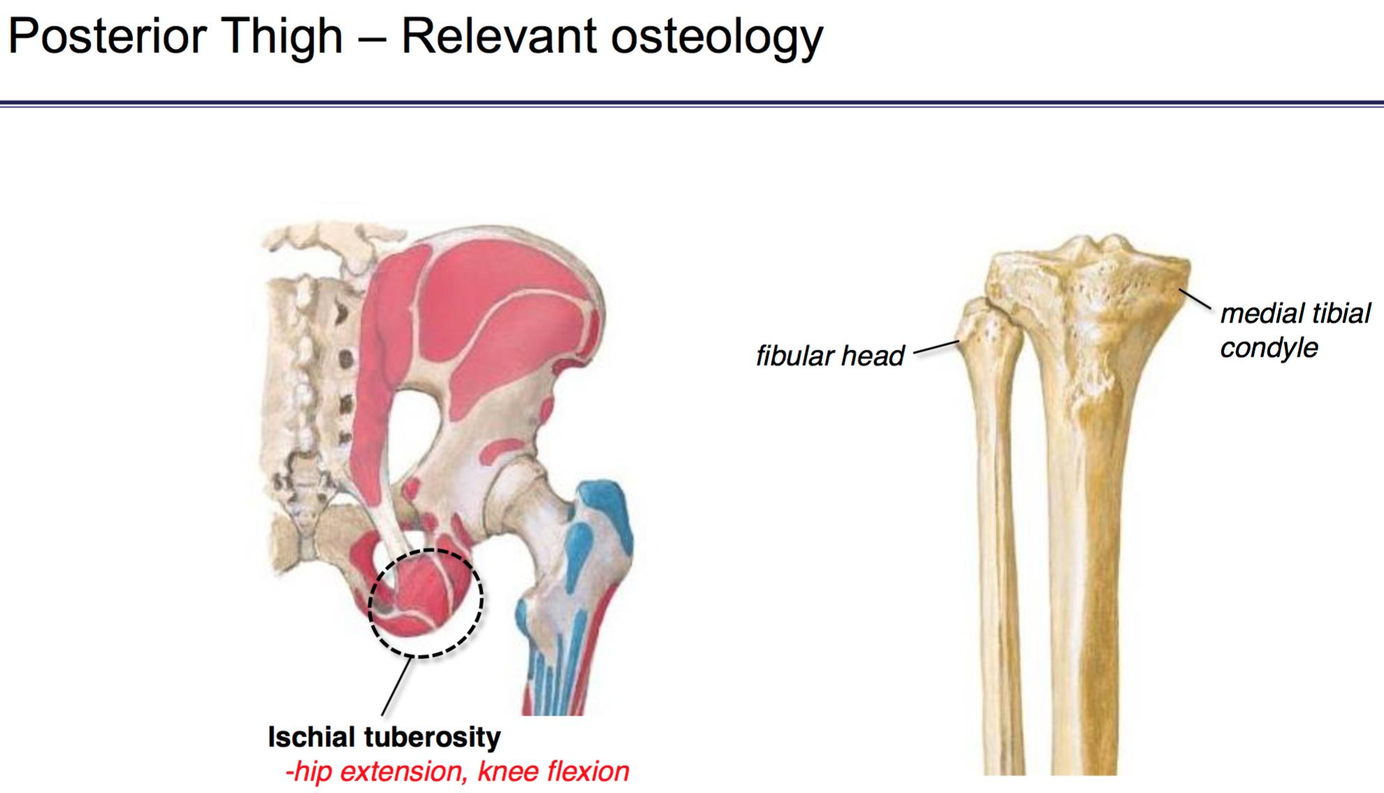 FG Anatomy G45 Gluteal Region & Posterior Thigh (Anatomy Unit 6 ...
