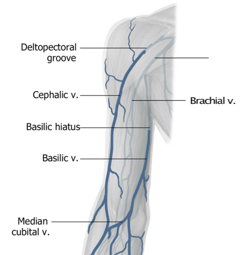 anatomy (ul): brachial plexus, axilla & arm (axilla, brachial, Cephalic Vein
