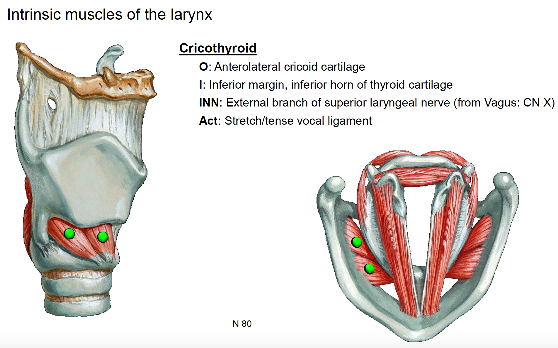 Anatomy G66 Larynx Anatomy Unit 8 Flashcards Memorang