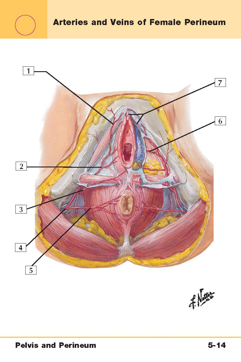 Pelvis And Perineum Anatomy Netters Flash Cards Flashcards Memorang