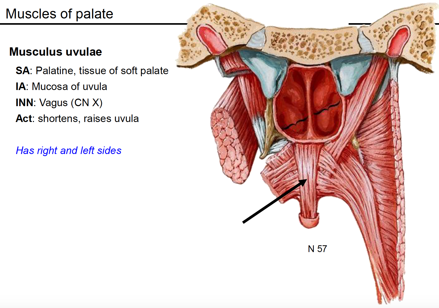 Medial pterygoid plate → with p and more (Terms from Anatomy G62 ...
