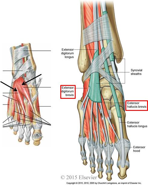 1.07 - Anterior & Lateral Leg + Foot Dorsum (Anatomy) Flashcards ...