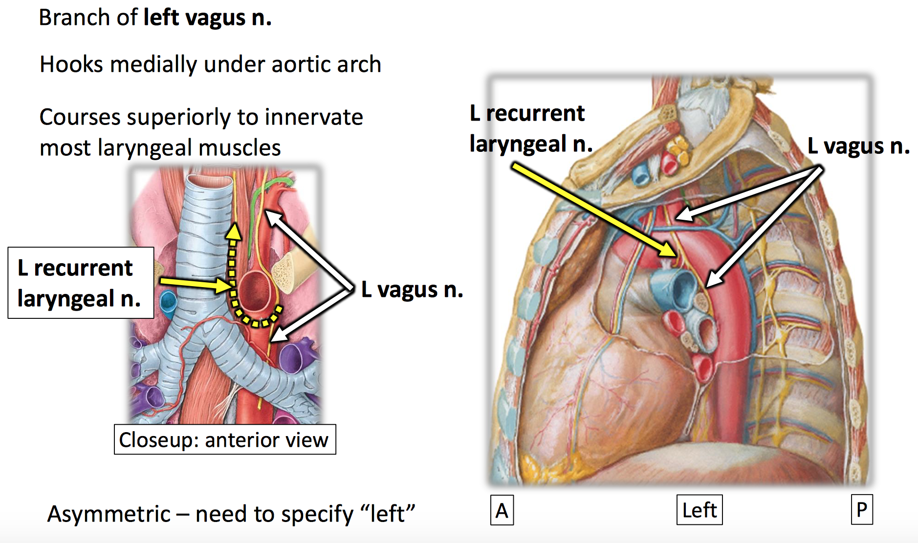 Anatomy GS23 Superior and Posterior Mediastinum - Updated (Adapted ...