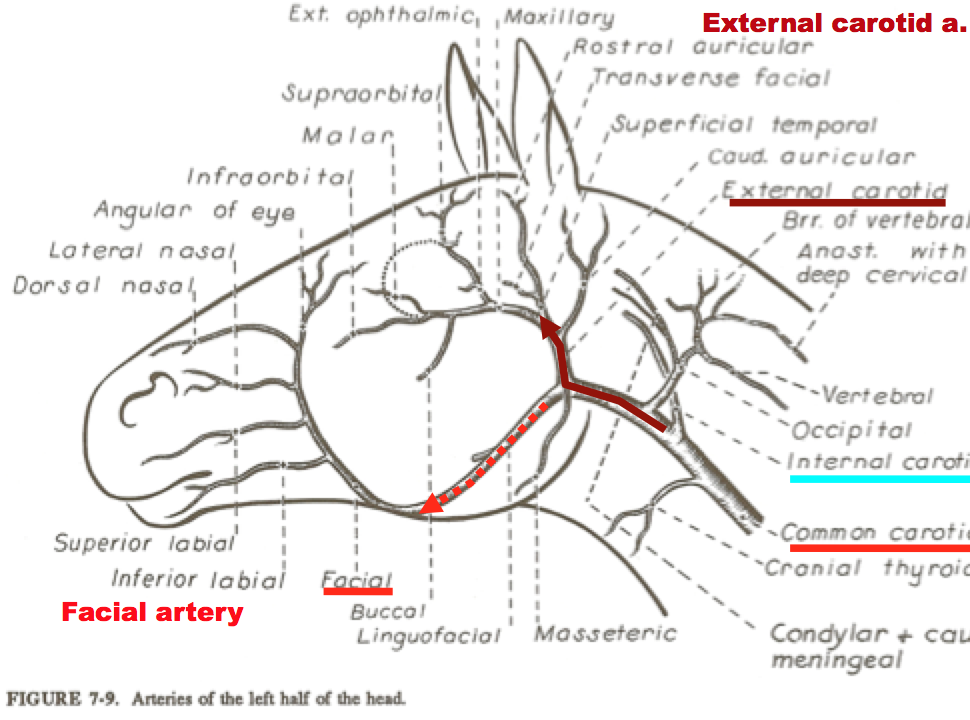 Maxillary Artery Diagram Horse - Enthusiast Wiring Diagrams •