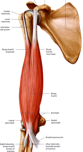 What muscles attach to the coracoid process?