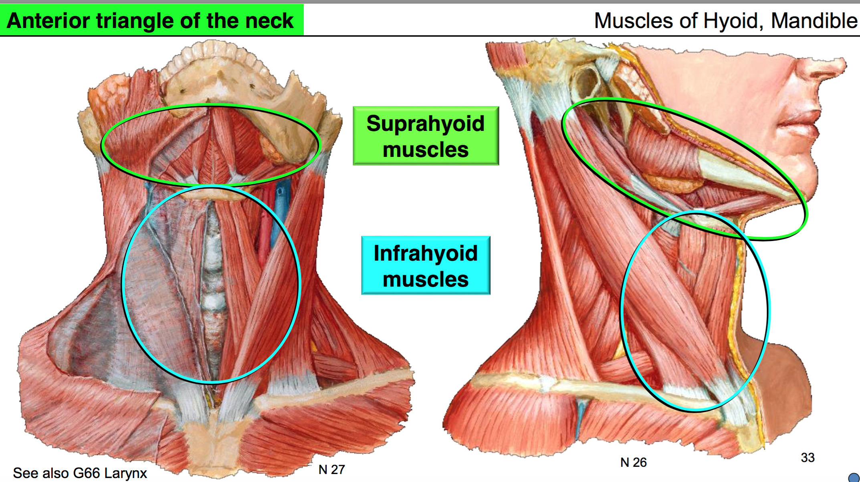 Anatomy G53 Neck I (Anatomy Unit 7) Flashcards | Memorang