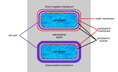 Microbiology week1 lecture 2 3 introduction to bacteria gram ve vs gram ve ccuart Images