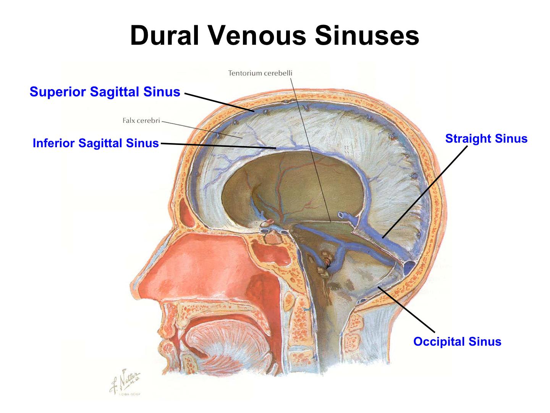 CNS- Scalp, Cranial Cavity, Meninges (CNS) Flashcards | Memorang