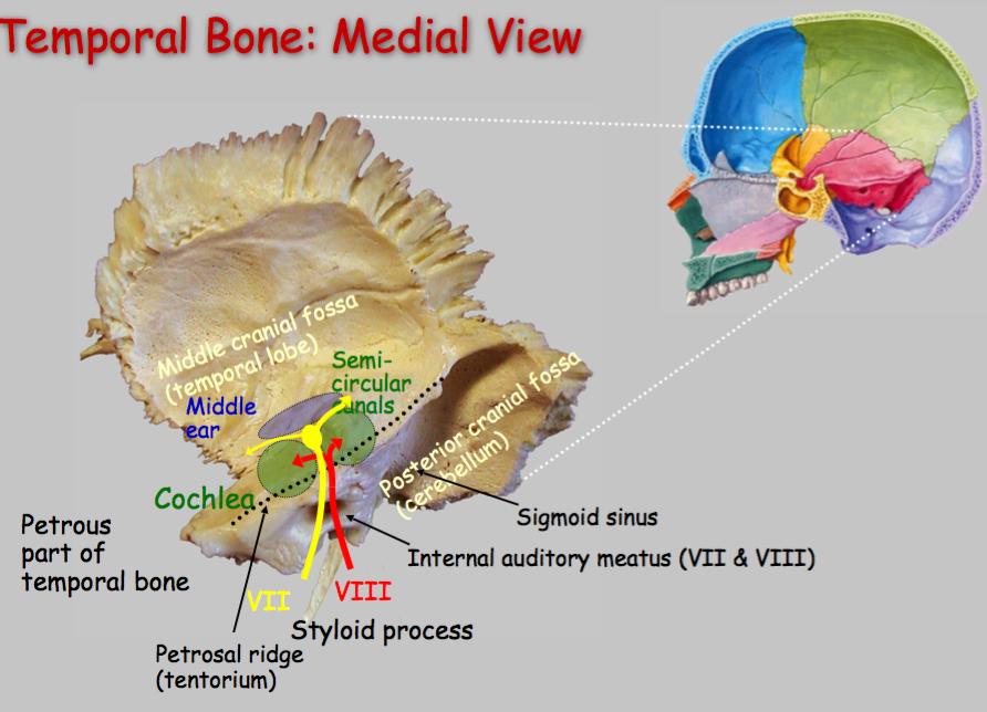 N89: Ear, Temporal Bone, and Facial Nerve (Neurosciences | Gross ...