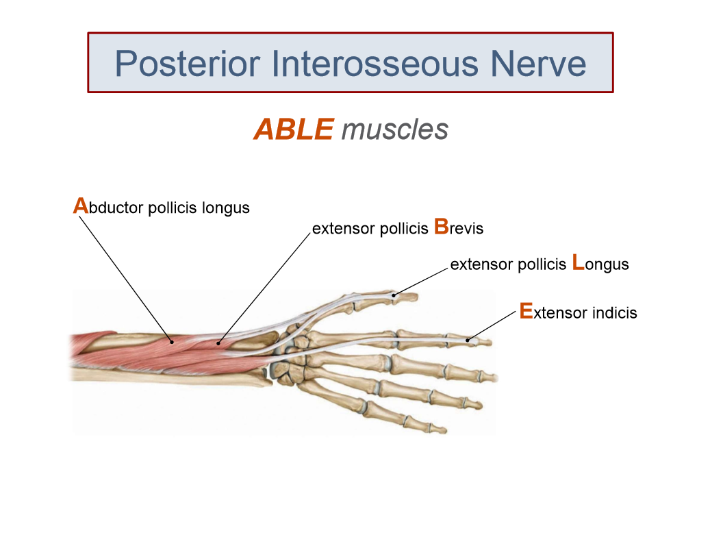 Fancy Posterior Interosseous Nerve Anatomy Picture Collection ...