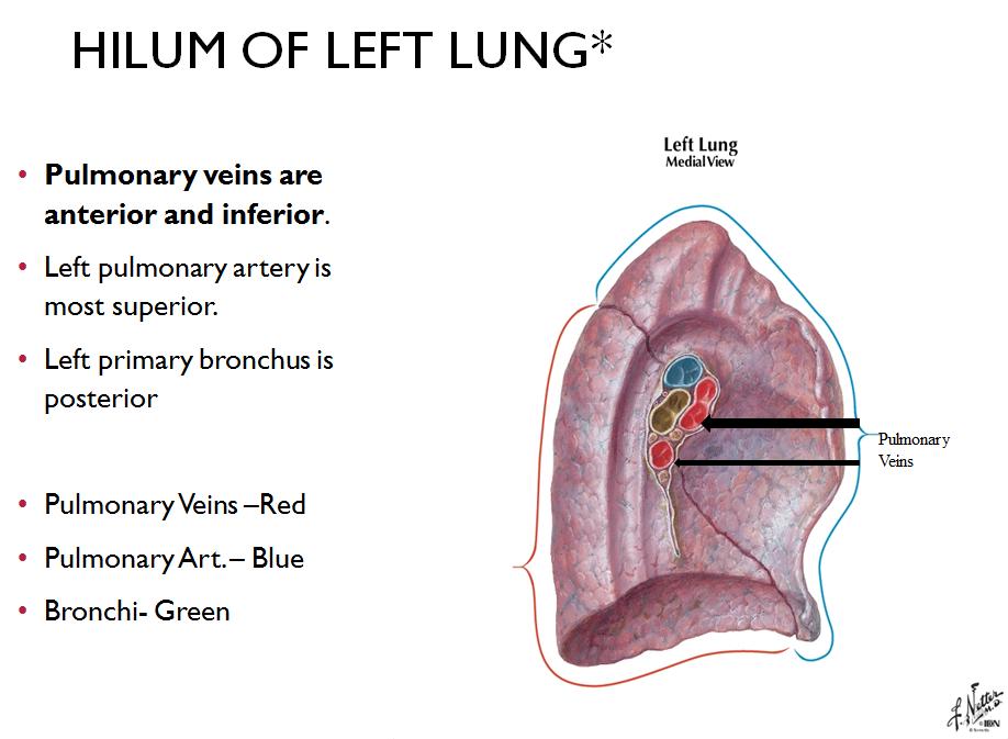 Nett Lunge Hilar Anatomie Fotos - Anatomie Von Menschlichen ...