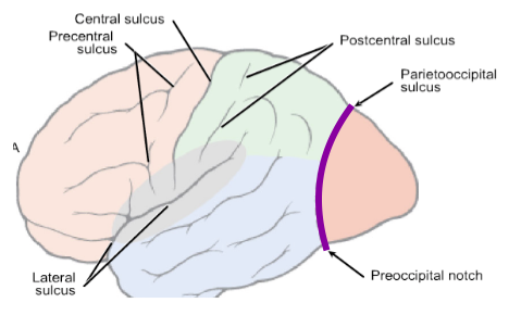 functional neuroanatomy exam 3 (cerebellar and cerebral cortex, Human Body