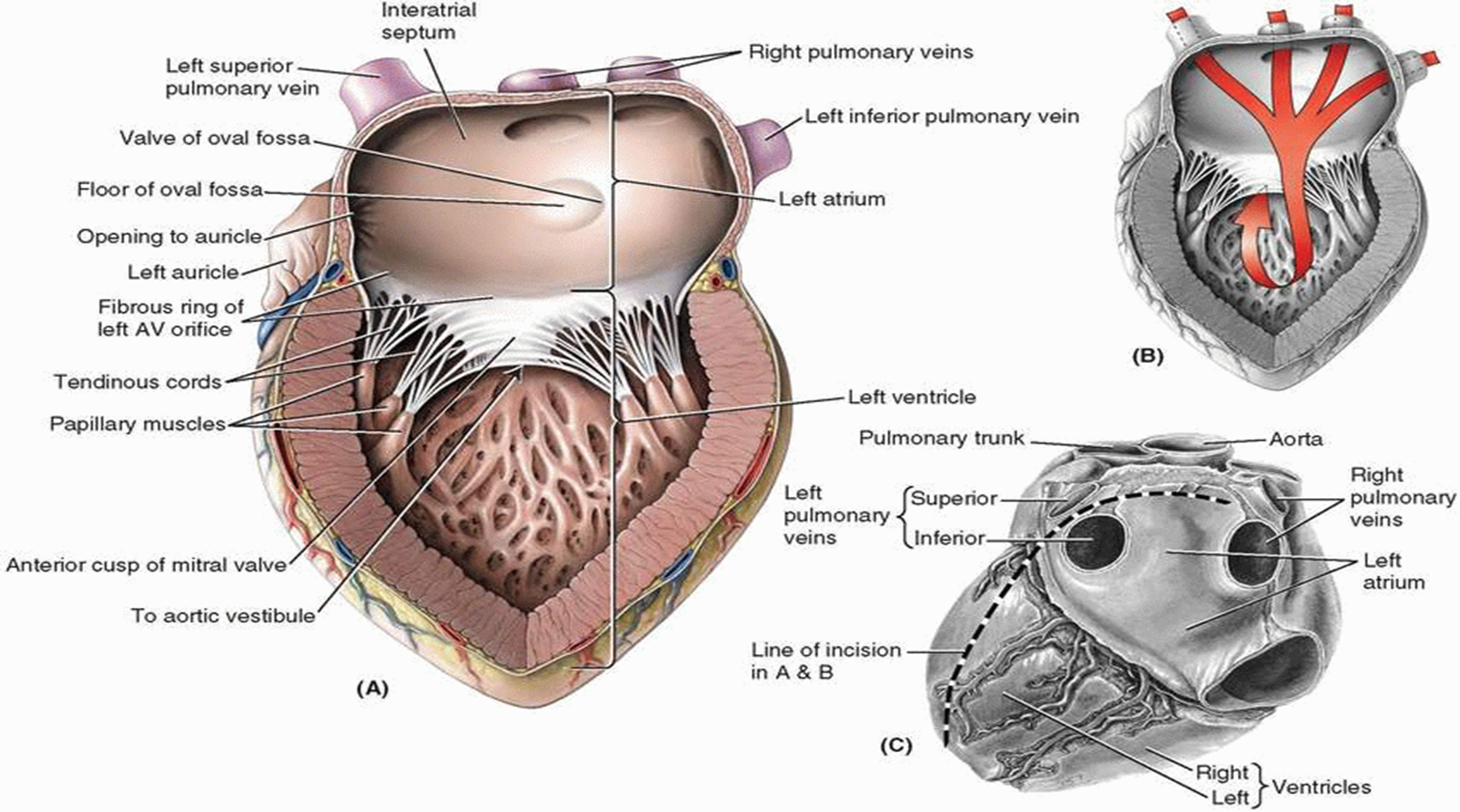 015b Middle Mediastinum Anatomy Flashcards Memorang