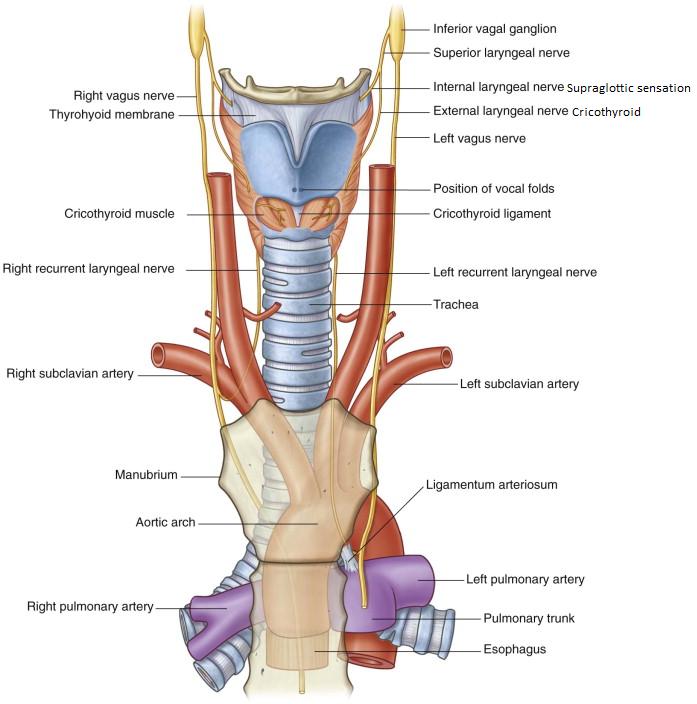 Ungewöhnlich Supraglottische Larynx Anatomie Fotos - Menschliche ...