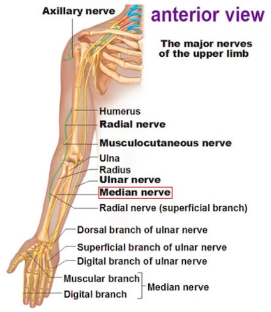 Msk Gross Anatomy Key Terms Msk Gross Anatomy Key Terms