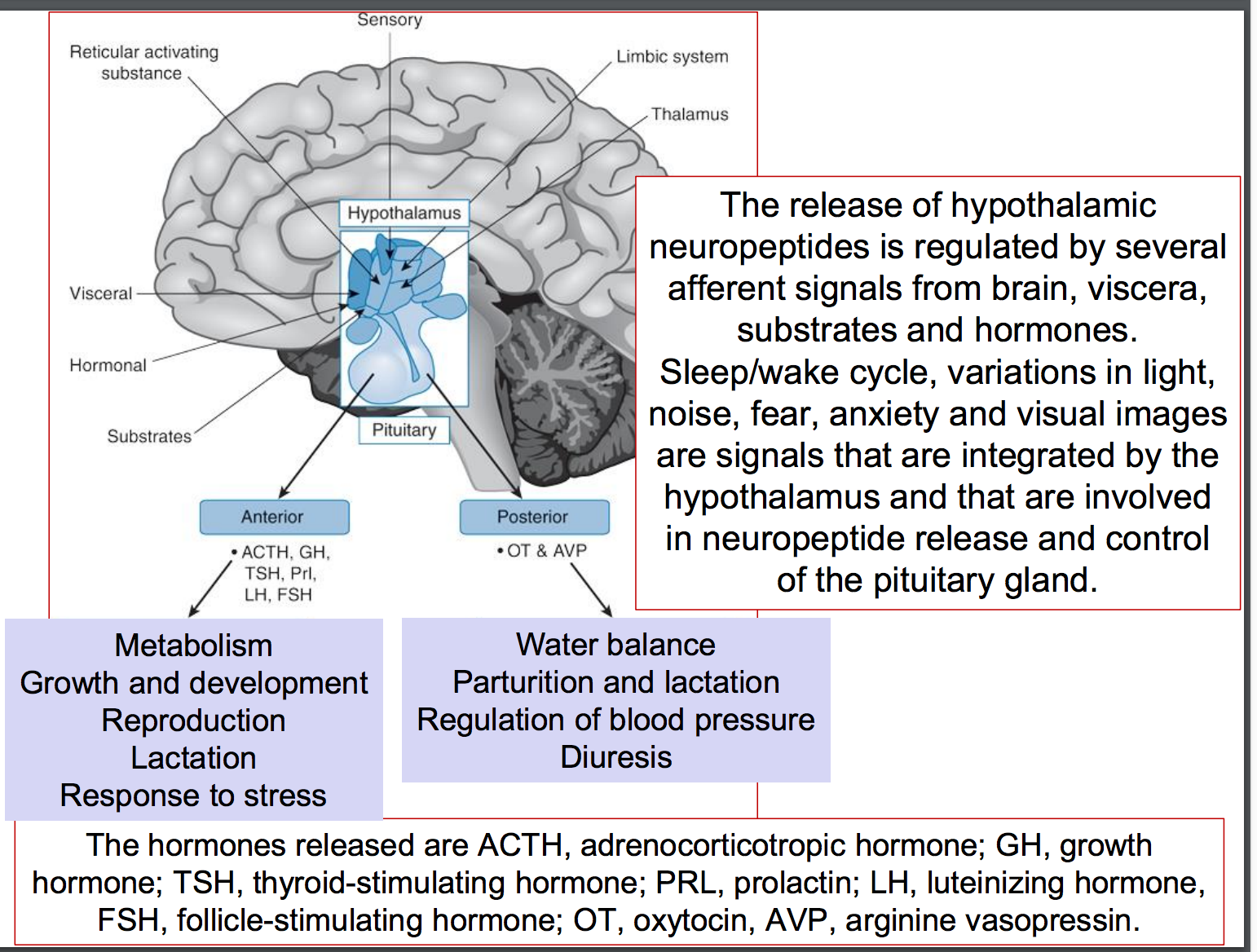 Physiology L27 (Hypothalamus and pituitary) Flashcards | Memorang