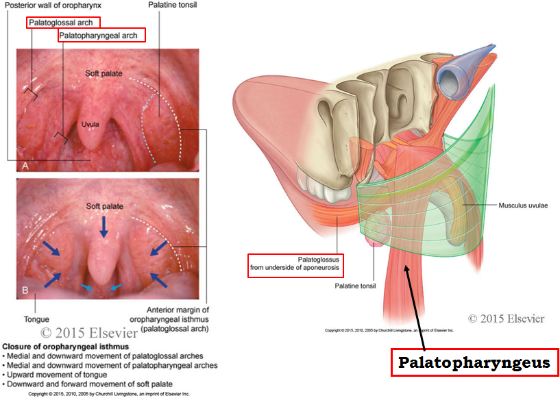 1.05 - Face + Oral Cavity + Nose + Paranasal Sinus + Pharynx (Neuro ...