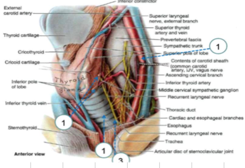 Concepts 91 100 100 Concepts Anatomy Flashcards Memorang