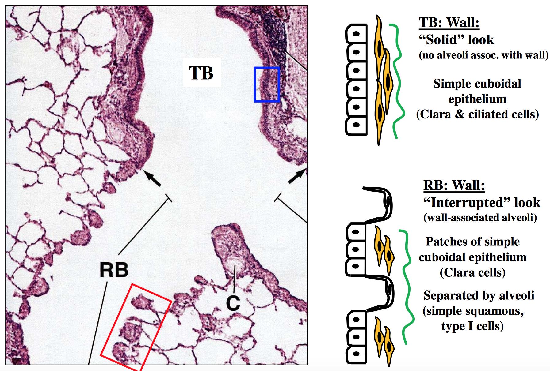 Gs He 20 21 Respiratory Histology Development Histology