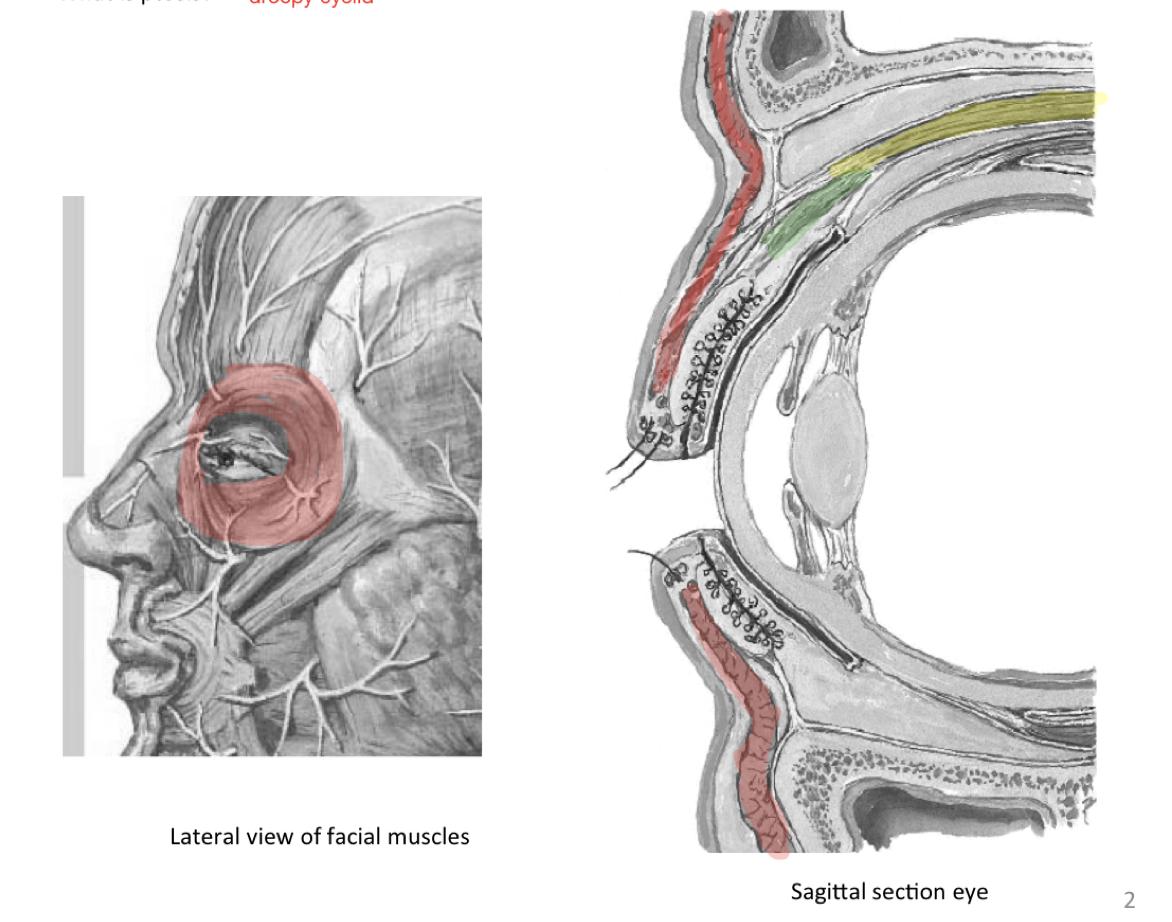 Week 12 - Orbital Anatomy (Anatomy) (Phase 1) Flashcards | Memorang