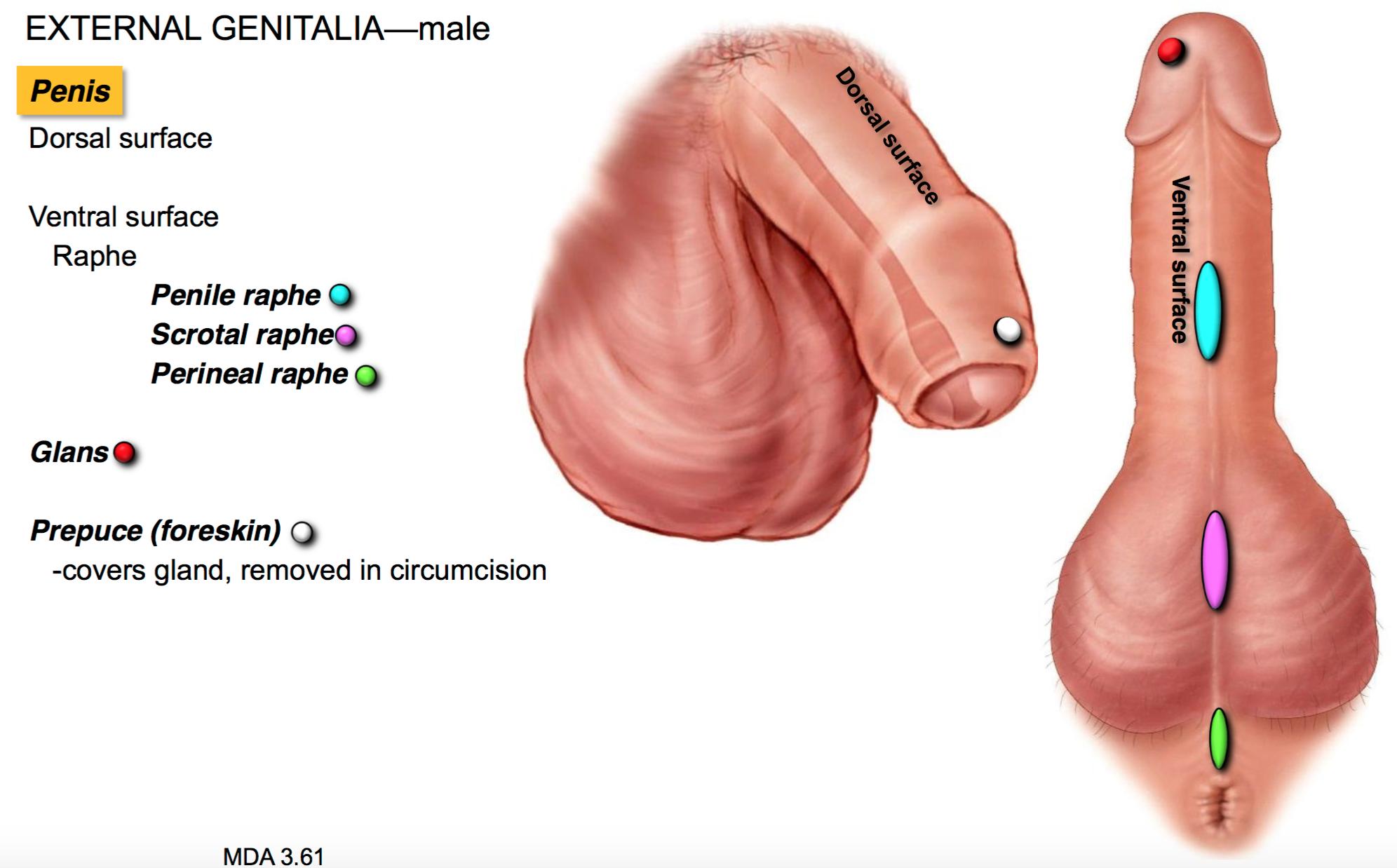 ventral side of penis
