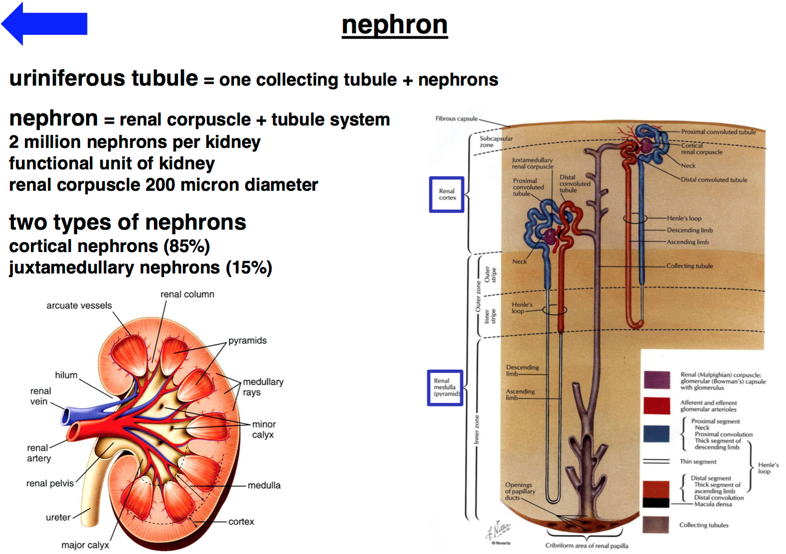 Gt Histology He 3637 Urinary System Histology Unit 5 Flashcards