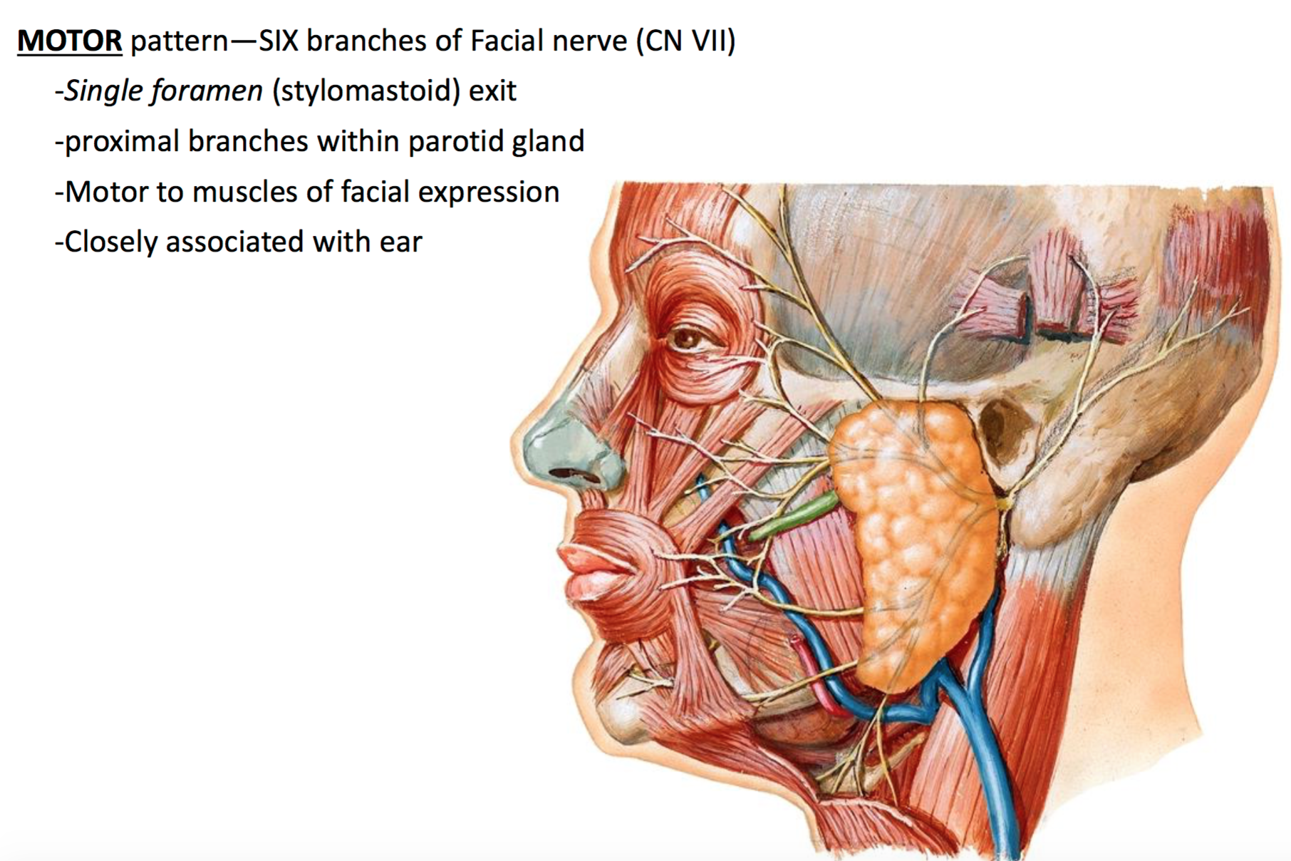 Anatomy G58 Face, Scalp & Parotid Region (Anatomy Unit 7) Flashcards ...
