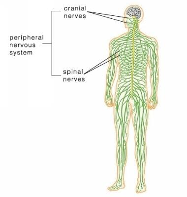 Nervous System (EMT: Anatomy & Physiology) Flashcards | Memorang