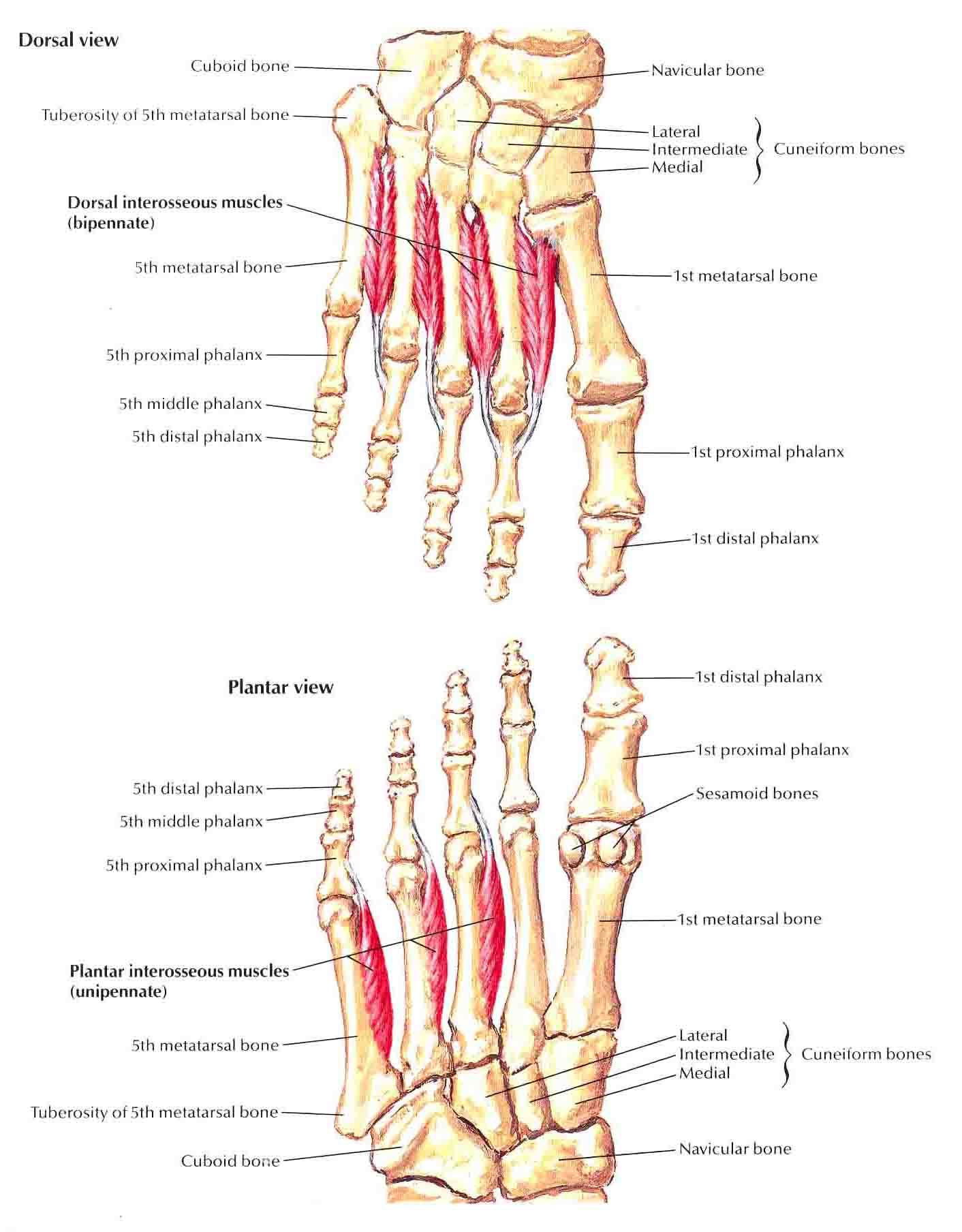 011B - Dorsum and Plantar Aspect of Foot (Anatomy) Flashcards   Memorang