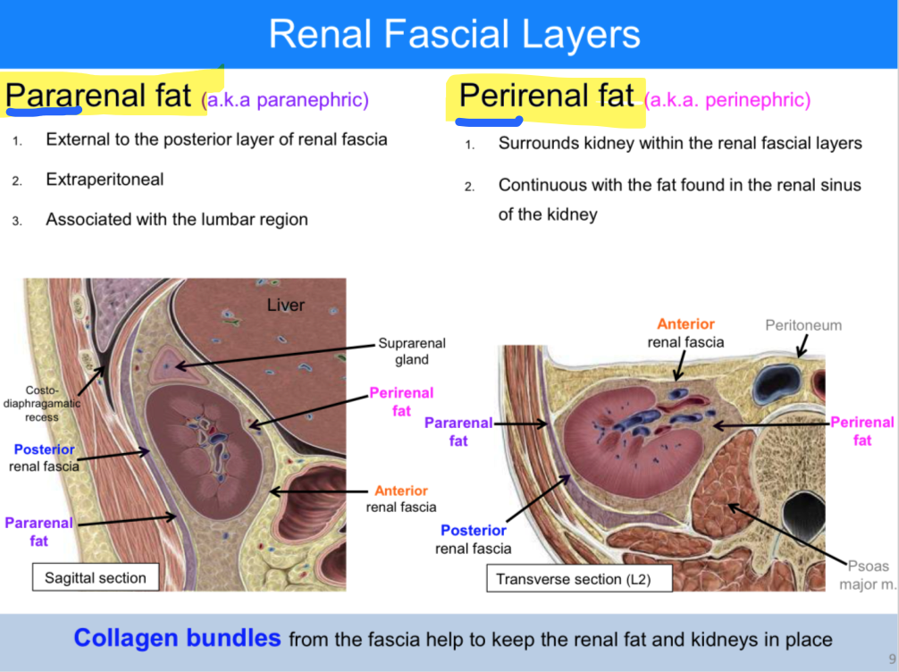 ANATOMY OF THE KIDNEY AND SUPRARENAL GLAND (ANATOMY) Flashcards ...
