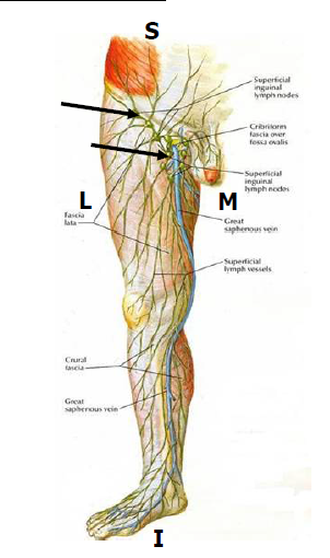 3D. Vasculature & Lymphatics of Thigh and Gluteal Region (Scholl ...