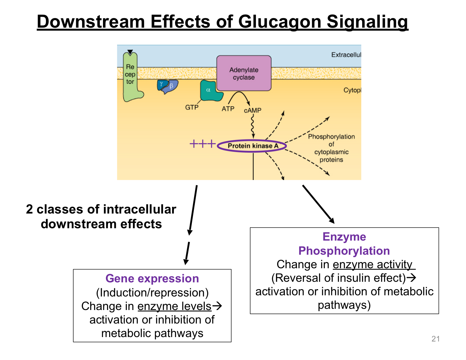 describe the downstream effects of glucagon signaling?