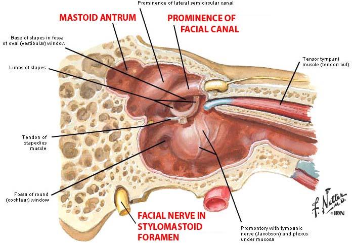 The Ear/ Auditory Pathway/ Vestibular Pathway (Anatomy III ...