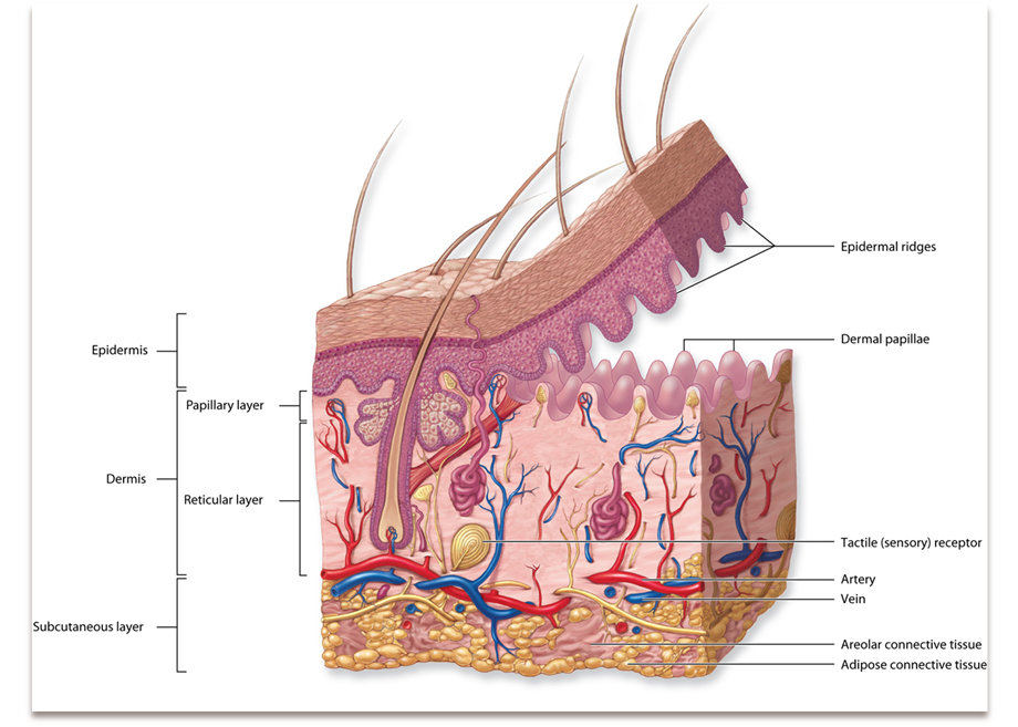 Connective Tissue L2 (Microscopic Anatomy) Flashcards | Memorang