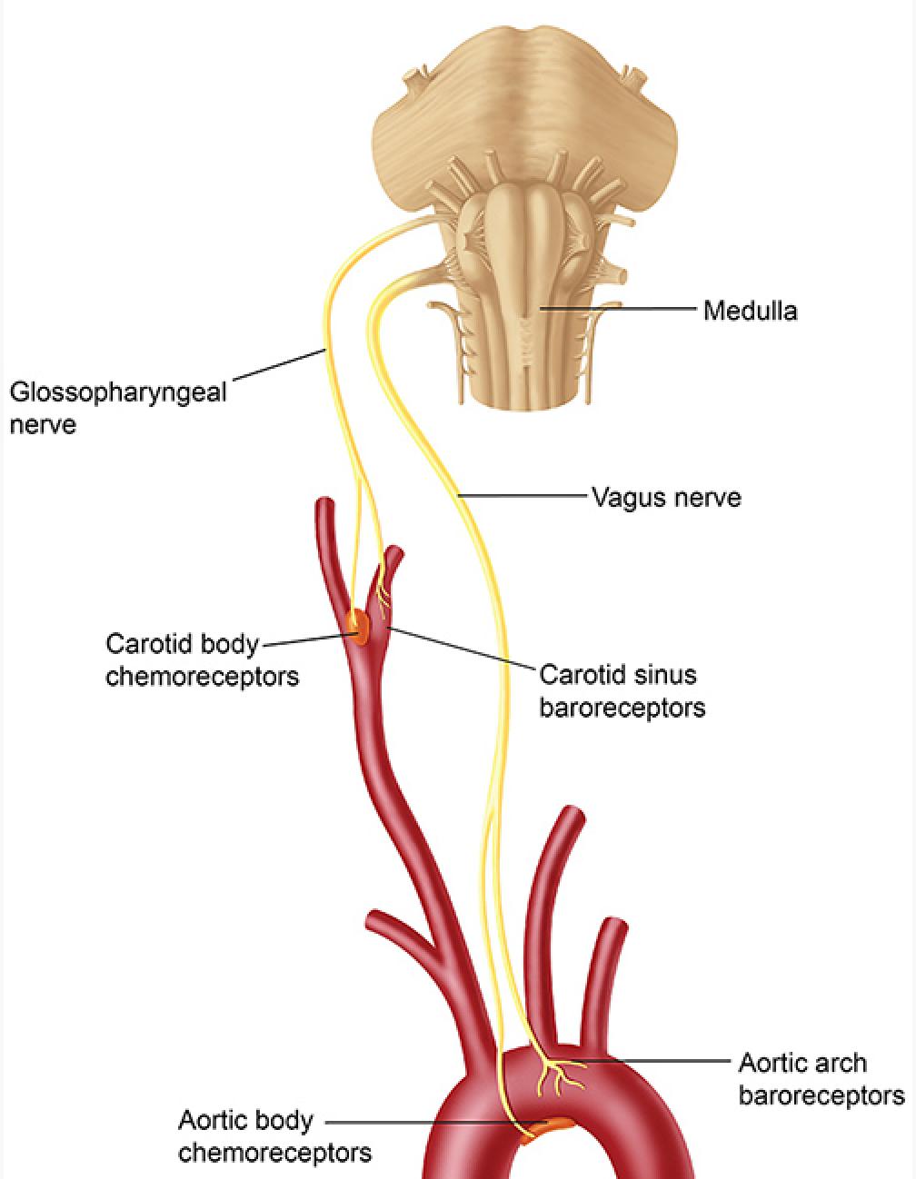 Ziemlich Schulterknochen Anatomie Ideen - Anatomie Ideen - finotti.info