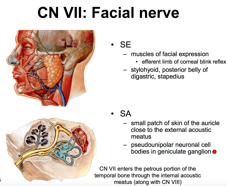Anatomy G57 Orientation To Cranial Nerves Anatomy Unit 7
