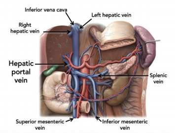Anatomy of the abdomen flashcards memorang splenic vein uniting with the superior meseteric vein the hepatic portal vein carries nutrients from ccuart Choice Image