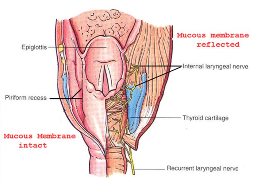 Laryngeal inlet boundaries in dating